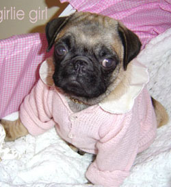 pug-puppy.com - puppy pug, baby pug, teacup pugs for sale