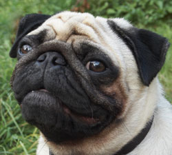 picture pug
