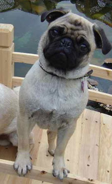 Show Pugs Pug Well Groomed Attractive Pug Dog Shows